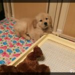 生後2ヶ月子犬をお迎えしてから1週間が経過。子犬の様子は?