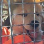 ブリーダーからゴールデン・レトリーバーの子犬を迎えた当日の様子