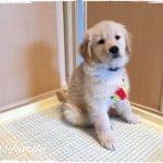 子犬の『トイレトレーニング』はじめました
