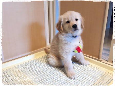 20150224生後2ヶ月ゴールデン・レトリーバー子犬