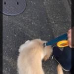 ゴールデン・レトリーバー子犬、初めての散歩はいつから?
