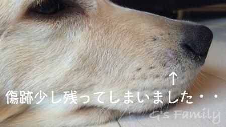 犬に噛まれた傷1