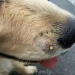 子犬が犬に咬まれた傷の経過。抗生物質が原因と思われる下痢に。