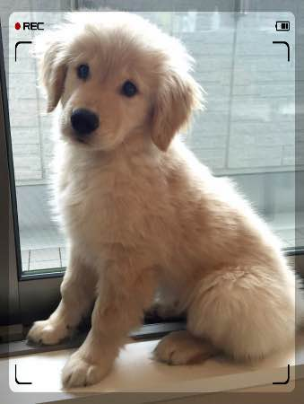 生後3か月 Golden Retriever