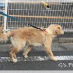 散歩中、マーキングをやめさせたい〔生後7ヶ月〕ゴールデン・レトリーバー子犬成長記録