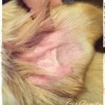 犬の耳、かゆみ・赤い湿疹。原因はダニ・ノミ?動物病院へ。