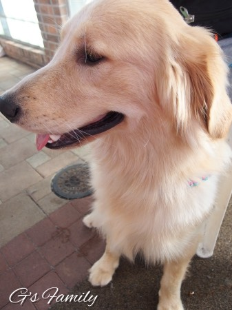 20151012Golden Retrieversenna.jpg