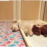 【子犬期〜1歳まで】サークル床をおしっこから守るための、シートやマットの試行錯誤まとめ