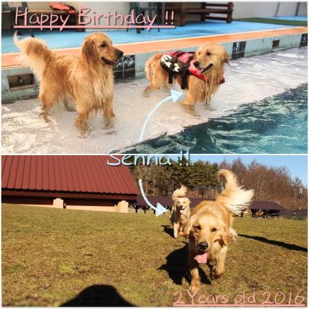 Golden Retrieverセナ2歳誕生日