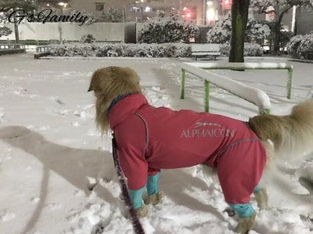 ゴールデン・レトリーバーセナ3歳1ヶ月雪遊び