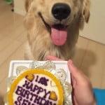 イケゴルをプレゼント!犬用誕生日ケーキでお祝い[1歳の誕生日]