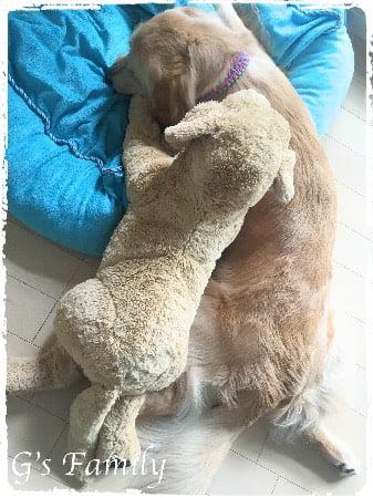 ゴールデン・レトリーバー セナ 1歳大型犬ベッド