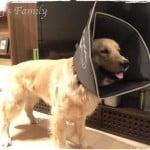 大型犬のエリザベスカラー。ソフト素材のカラーを選びました!