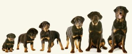 犬乳糖消化酵素