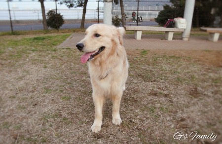Golden Retrieversenna20151231