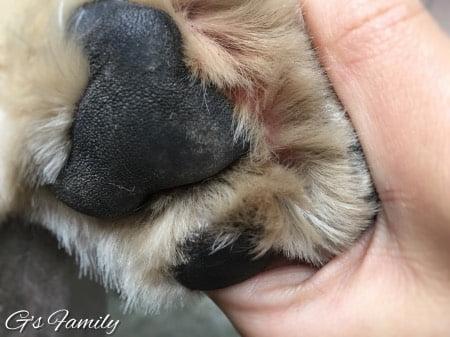 犬の指間炎治療アポキル服用記録201611