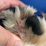 【完治を目指して】犬の指間炎治療 & アポキル錠服用記録 [1歳9ヶ月〜2歳6ヶ月]