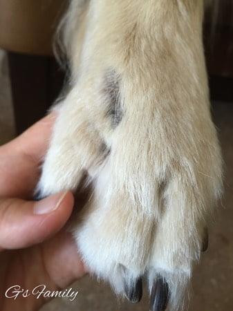 犬の指間炎治療記録2016年9月1日