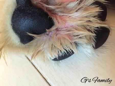 犬の指間炎治療アポキル記録2016年10月5日