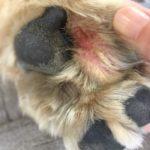 完治を目指して!犬の指間炎治療記録【1年を写真で振り返る】【アポキル錠の服用履歴】