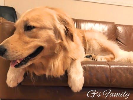ゴールデン・レトリーバー2歳8ヶ月
