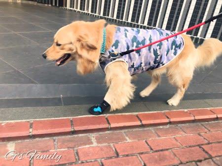 ゴールデン・レトリーバーセナ1歳9ヶ月犬の靴