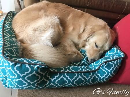 ゴールデン・レトリーバーセナ2歳8ヶ月