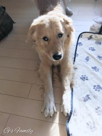 ゴールデン・レトリーバーセナ2歳11ヶ月