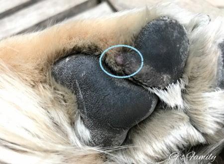 ゴールデン・レトリーバーセナ3歳 犬肉球の皮膚組織球腫・血豆・できもの