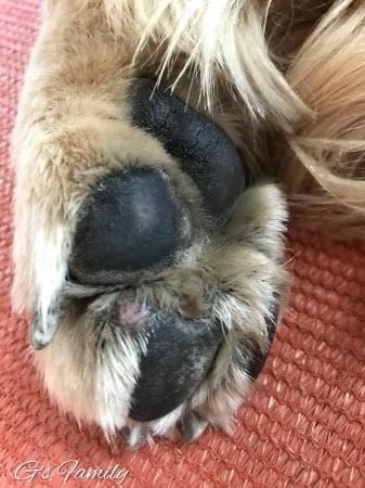 犬肉球の組織球腫・血豆