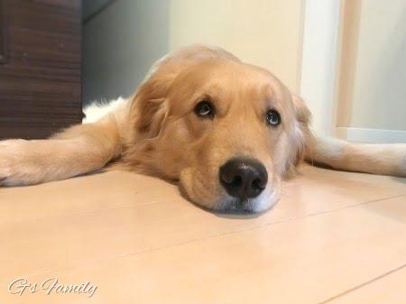 ゴールデン・レトリーバーセナ3歳1ヶ月