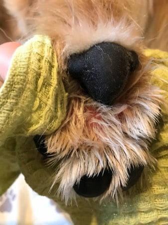 犬の指間炎2017年12月4日左後ろ足