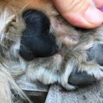 【減薬成功期間あり】犬の指間炎治療 と アポキル錠服用記録 [2歳7ヶ月〜3歳5ヶ月]