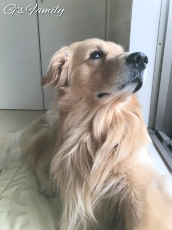 ゴールデン・レトリーバーセナ3歳5ヶ月