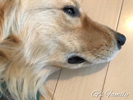 ゴールデン・レトリーバーセナ3歳7ヶ月