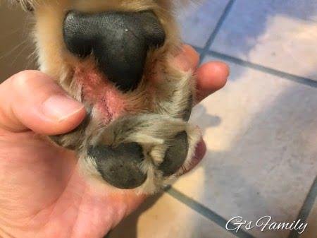 犬の指間炎2180608左足
