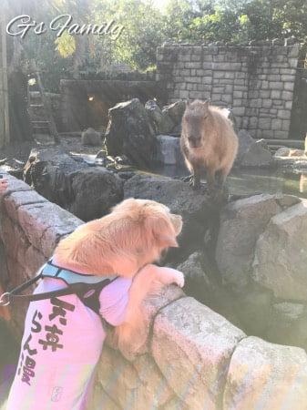 犬連れ伊豆シャボテン動物公園・カピパラ