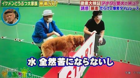 坂上忍さんのゴールデン・レトリーバー「平塚コウタ」くんが坂上どうぶつ園のタイムレースに出場