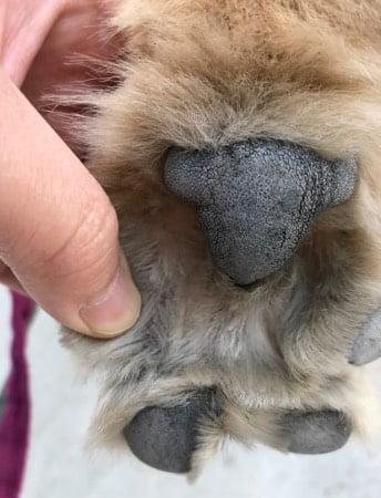 犬の指間炎とアポキル