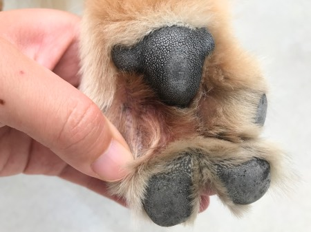 犬の指間炎
