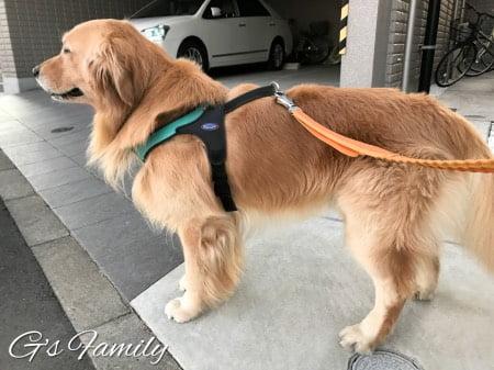 ゴールデン・レトリーバーセナ4歳11ヶ月の体型