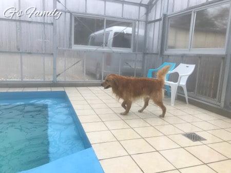 ゴールデン・レトリーバーセナ4歳11ヶ月プール遊び
