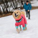ゴールデン・レトリーバーセナの軽井沢で雪遊び