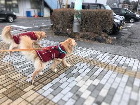 ゴールデン・レトリーバーの兄弟犬セナレオ