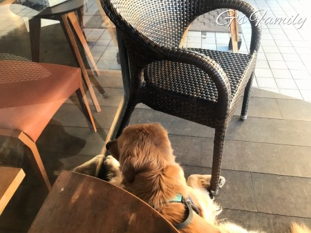 ゴールデン・レトリーバーセナとカフェ