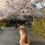 2020年河川敷の桜ゴールデン・レトリーバーセナ