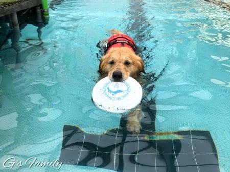ゴールデン・レトリーバーセナ4歳7ヶ月の時クラス・ザ・ウルフ滞在でのプール