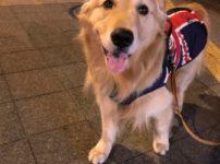 ゴールデン・レトリーバーセナ5歳4ヶ月おめめキラキラ夜散歩