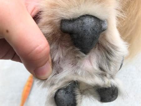 抗生物質を塗って指間炎が良くなった画像(左後足)