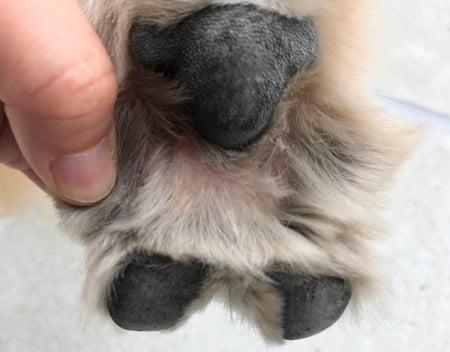 抗生物質を塗って指間炎が良くなった画像(右後足)